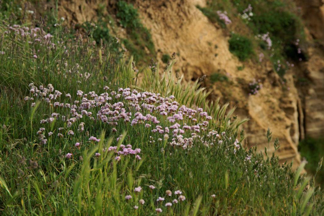 "Cap Gris-Nez - Côte d'Opale - View SSW on abundance of Armeria maritima: ""Thrift"", ""Sea thrift"", ""Sea pink"" / ""Engels Gras"""